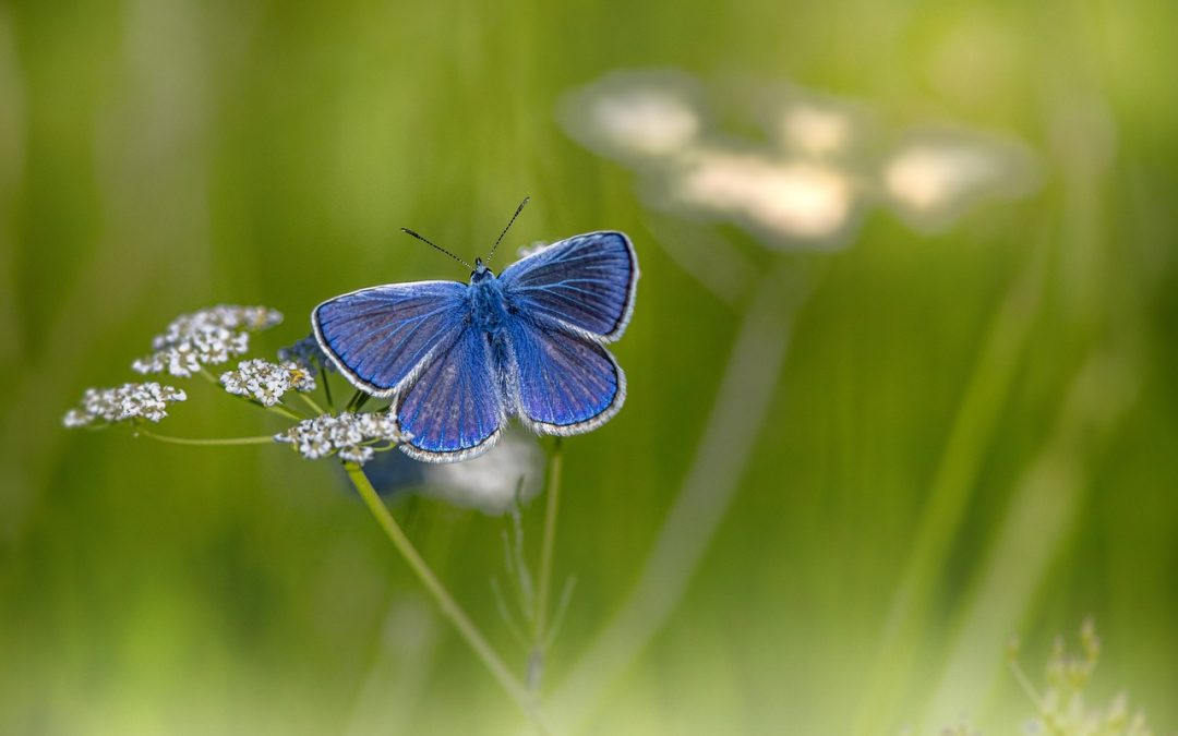 blue butterfly on caraway flowers